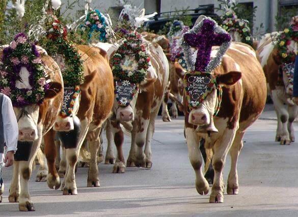 Cow Festival Zillertal Tirol Austria