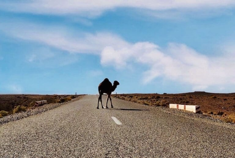Camel on Moroccan Road