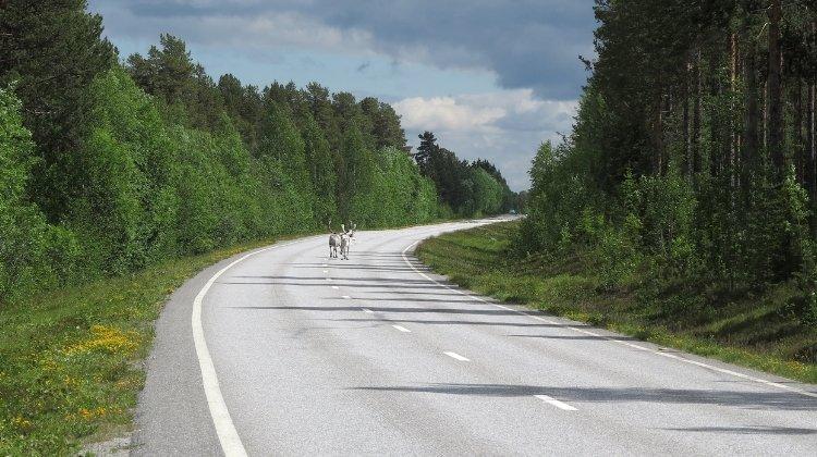 Reindeer on the road in Norway